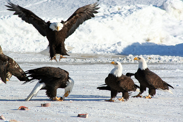 Eagle Ice Capades
