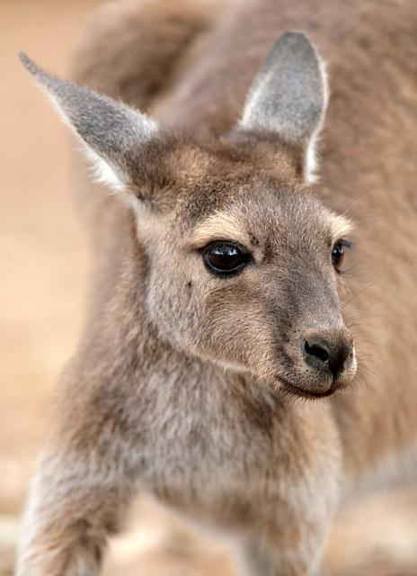 Joey (baby kangaroo) by John White - DPChallenge