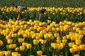 tour de Tulip