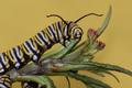 Monarch of the Milkweed
