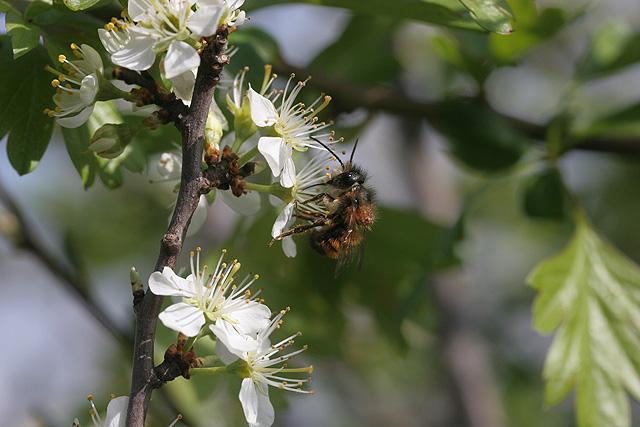 Bee in blackthorn