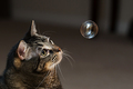 Catnip Bubble