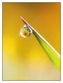 drop of daisy