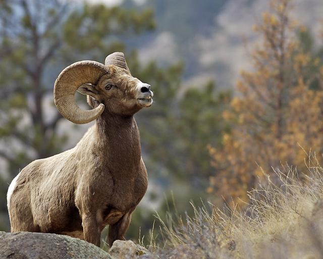 The Alpha Ram