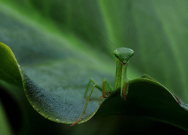 Mantis Stare
