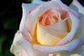 sunset glow on blushing rose