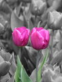 Tulips in color