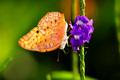 Wild Butterfly