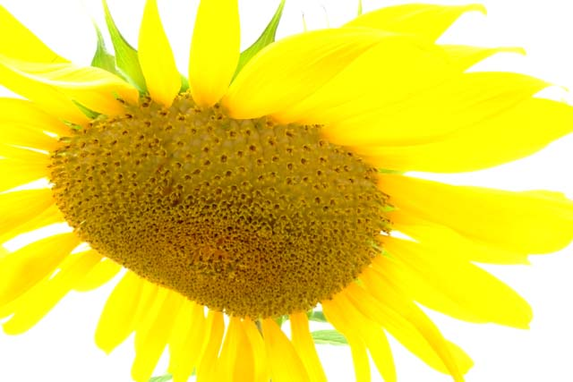 A burst of Sun from a Flower