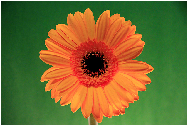 Burst  of Gerbera