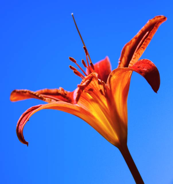 Trumpet of the Lilies