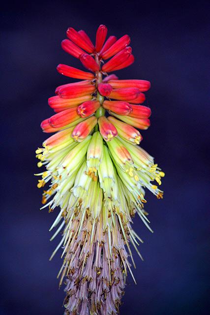 Firecracker flower is ready for July 4th.