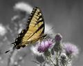 Tiger Swallowtail (Male)