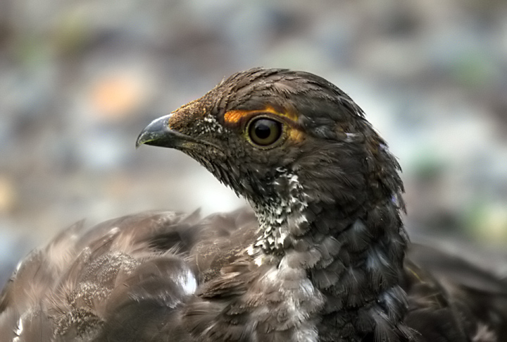 Blue Grouse Portrait