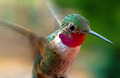 My Personal Triumph!!    A hummingbird shot with my macro lens!