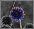 Sapphiric Blossom