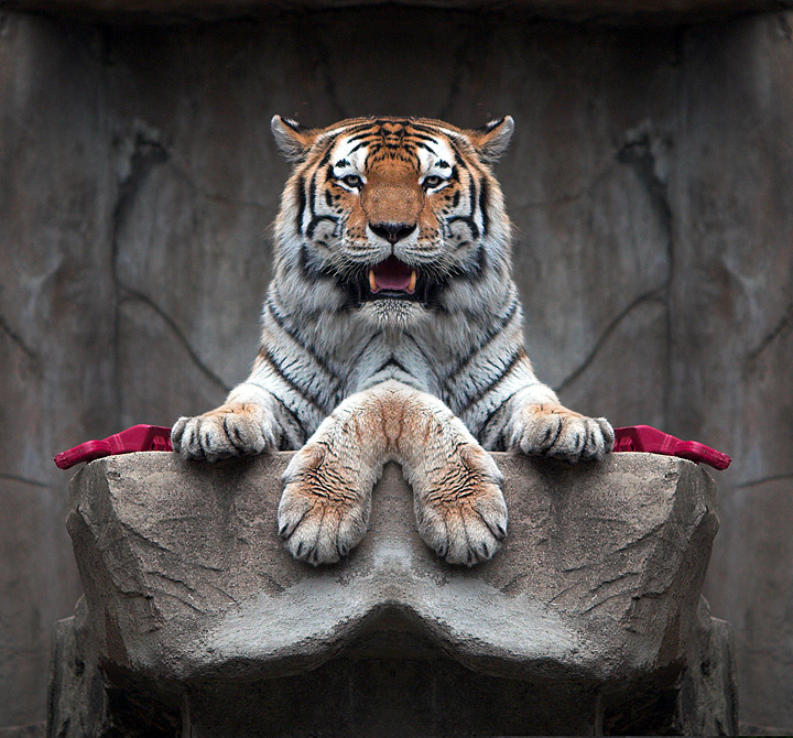 Tiger Paws by TommyMoe...