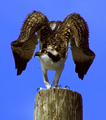 Osprey ~ Bird of Prey