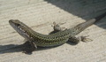 Lounge Lizard in the Portugese Sun