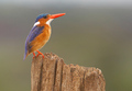 Malachite Kingfisher - Kenya colourful!