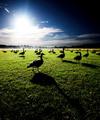Geese Gathering at Dawn