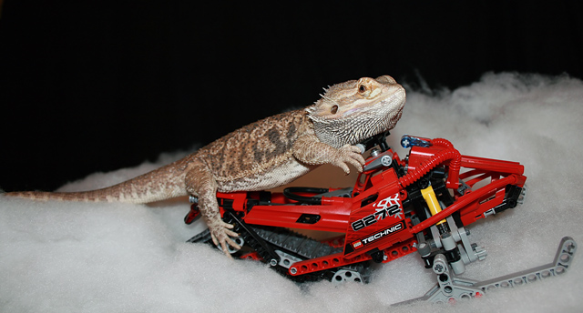 Bearded Dragon Snowmobiling?