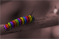 Rainbow Caterpillar
