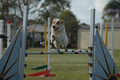 Agility dogs jump at State Titles