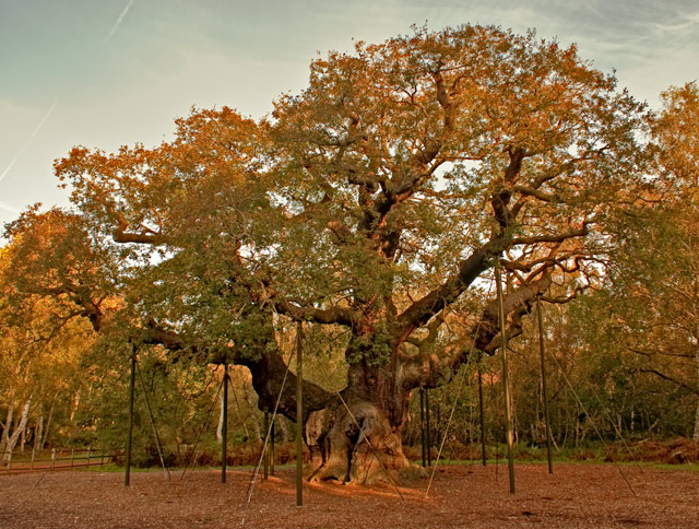 Robin Hood S Tree The Major Oak By Alpharich Dpchallenge