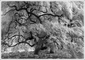 Old Chinese Elm