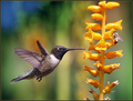 The hummingbird and the bee