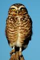 Borrowing (Owl) Stare