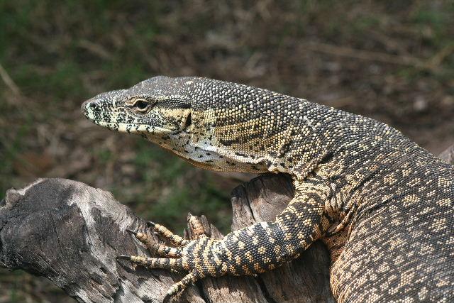 Mr Mon it tor  (monitor lizard australia)