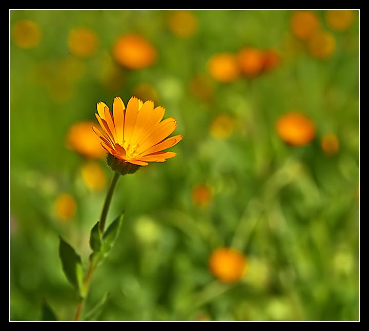 Orangeina