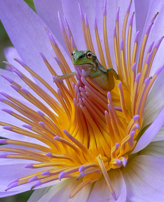 Frog on Tropical lily