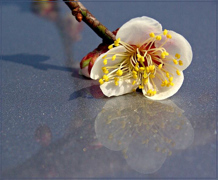 Blossom on Ice