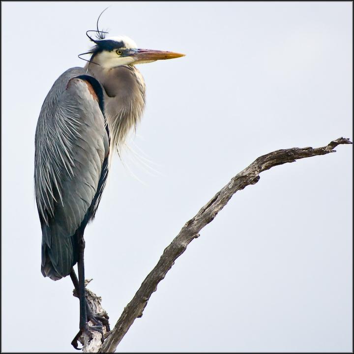 Gray Sentinel: Great Blue Heron