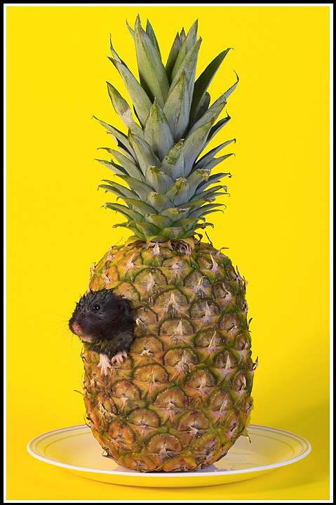 Who lives in a pineapple...
