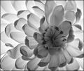 Petals of White