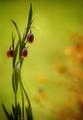 Fritilaria uva-vulpis