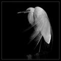 Windblown Feathers