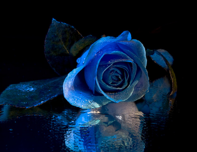A Rose in Blue