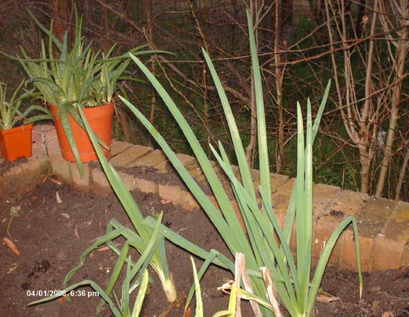 Aloe and Onions