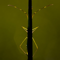 "Symmetry, ""A Bush-Cricket Behind a Blade of Grass"""