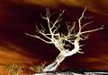 """White Tree of Gondor"""