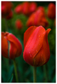 Red Soaked Tulip