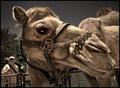 A Big Camel