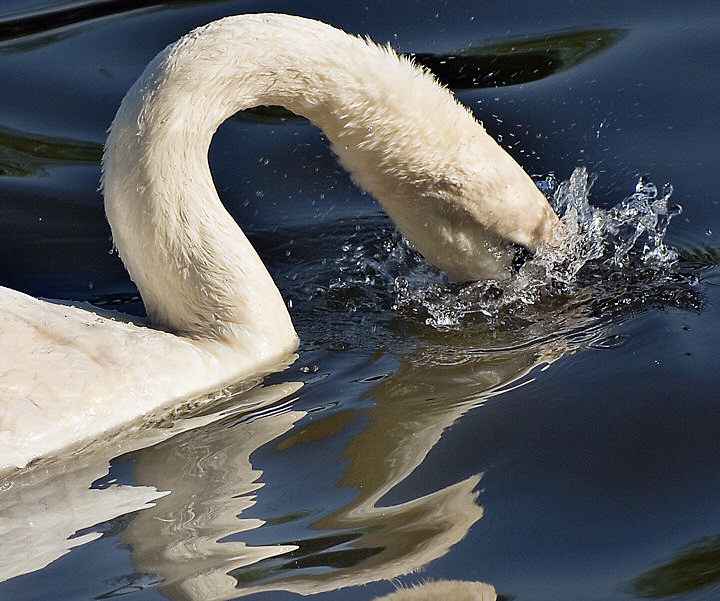 Reflected Swan's Thirst