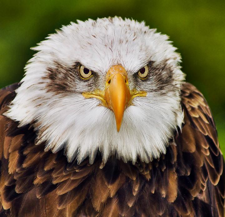 Staring Contest - Eagle vs Photographer