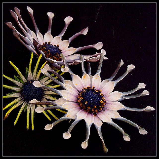 Osteospermum ecklonis / South African Flora
